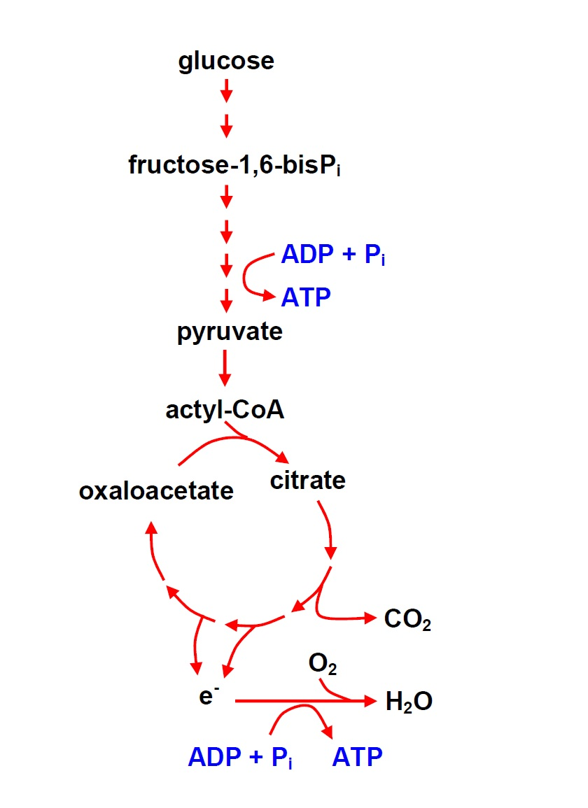 Metabolic pathway for converting glucose energy into ATP