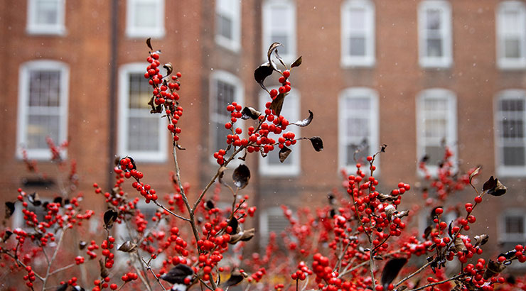 Bright red holly berries dominate the image as snow lightly falls. White framed windows of Old Main are out of focus in the background.