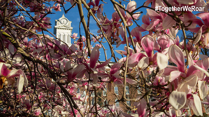 Old Main's clock tower surrounded by branches of pink magnolia flower blooms